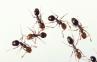 Fire_ants
